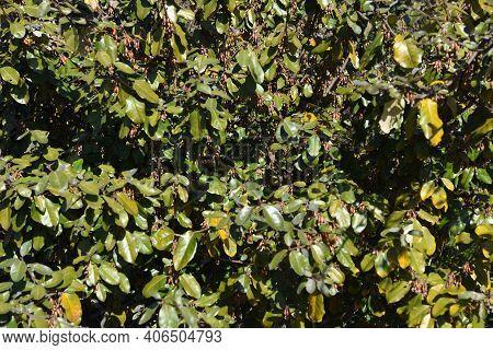 Elaeagnus Pungens (thorny Elaeagnus) Berries. Elaeagnaceae Evergreen Shrub.