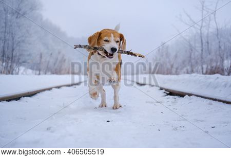 Cute Beagle Dog On A Walk In A Winter Snow-covered Park. Beagle Runs And Plays In The Snow