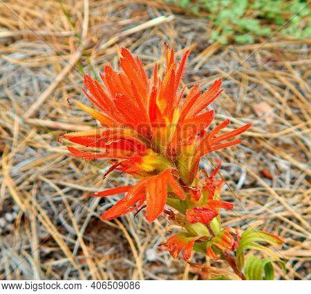 Orange Petals - Indian Paintbrush Wildflower On Allingham Ridge - Near Camp Sherman, Or