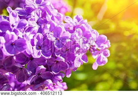 Spring lilac flowers, spring flower background with spring lilac blooming in the spring garden. Selective focus at the central flowers, spring landscape, spring garden woth blooming spring lilac flowers
