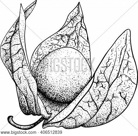 Collection Of Hand Drawn Physalis, Plant And Fruit. Tomatillo. Vector Hand Drawn Set Illustration.