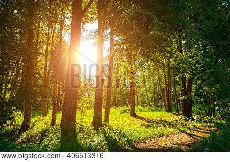 Summer forest landscape in sunny summer evening, summer forest trees lit by soft sunlight. Summer forest nature in summer sunset light, summer landscape, summer nature background