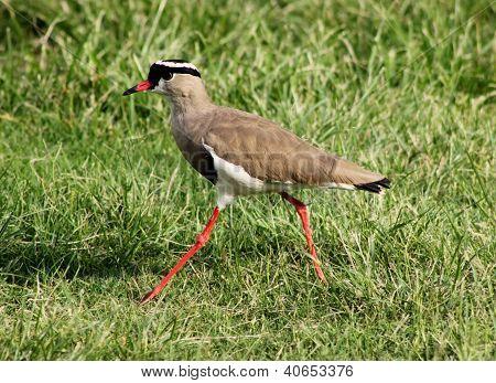 Crowned Plover Lapwing Bird Walking