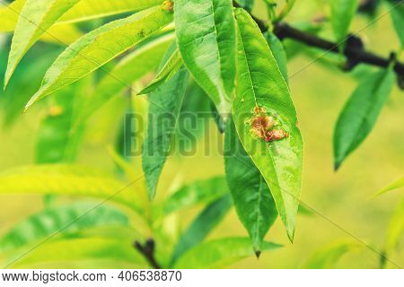 Leaves Of A Peach Tree With Red Discoloration Due To A Fungal Attack. Branch Of A Peach Tree With Le
