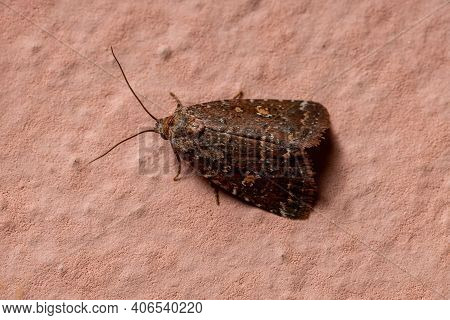Adult Small Moth