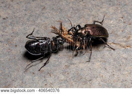 Adult Caterpillar Hunter Beetles Of The Species Calosoma Alternans Disputing The Predation Of A Gras