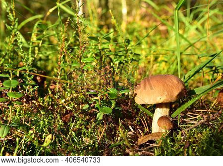 Two Porcini White Mushrooms, Large And Small, Grow In The Forest Against A Background Of Green Grass