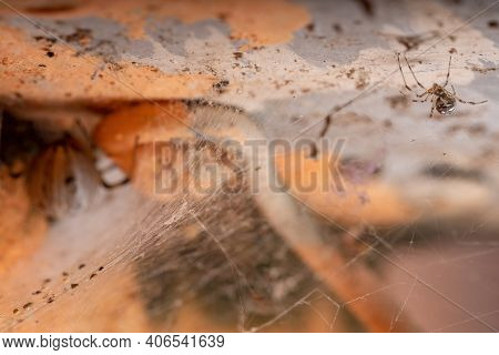 Selective Focus On A Small Brown Widow Of The Species Latrodectus Geometricus With An Adult Female O