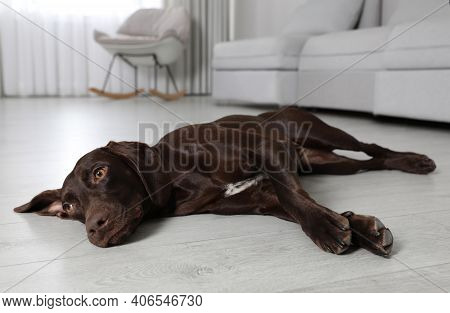 Cute German Shorthaired Pointer Dog Resting On Warm Floor. Heating System