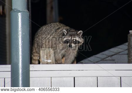 Raccoons (procyon Lotor) On Fence At Night Looking For Garbage Or Trash Invading The City In Stanley
