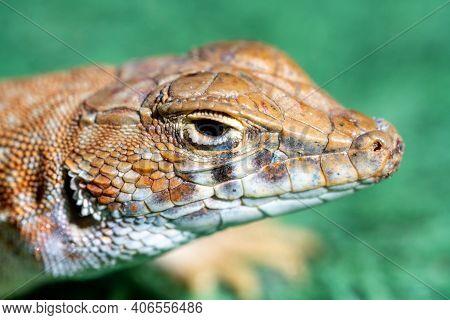 Macro Head Shot Of A Lizard, A Saudi Fringe-fingered Lizard (acanthodactylus Gongrorhynchatus)
