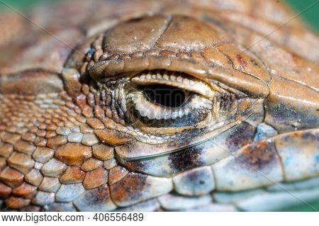 Close Up Macro Of Reptile Eye: Saudi Fringe-fingered Lizard (acanthodactylus Gongrorhynchatus)