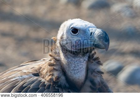 The Griffon Vulture Close Up (gyps Fulvus) Head Shot Very Close Up Showing Feather And Beak Details.