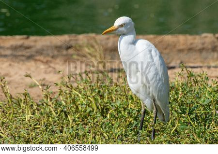 A Cattle Egret (bubulcus Ibis) Stands In The Marsh In The Sunshine.