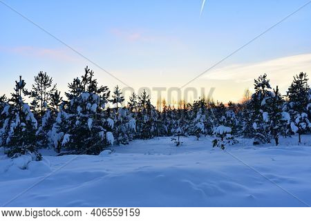 Pine And Fir Forest Covered With Snow After Strong Snowfall. Snow Covered Green Pine Trees On The Ba