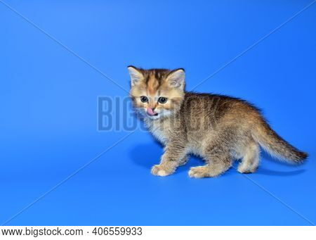 Small Kitten Of The British Chinchilla Breed On Blue Background. Little Cat. The Cat Felis Catus Is