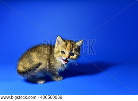 Small Kitten Of The British Chinchilla Breed On Blue Background. Little Baby Cat Lick. Babycat With