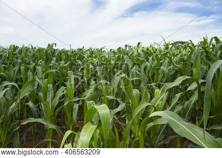 Beautiful Healthy Green Corn Field Growing To Be Consumed As Organic Staple Food