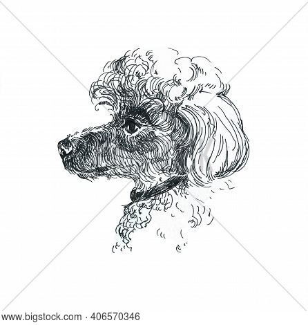 Poodle Dog. Graphic Portrait Of A Poodle Isolated On A White Background. Artistic Illustration Of A