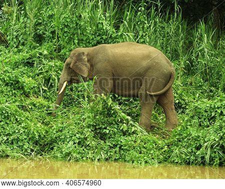 Huge Elephant Coming To The River Edge , Borneo, Malaysia