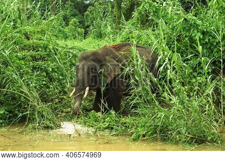 Pygmy Elephant Coming To The Water To Drink, Sabah, Malaysia