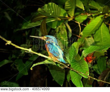 Beautiful Blue Bird Sitting On A Branch Over The Kinabatangan River