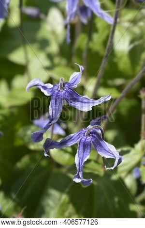 Clematis Hendersonii - Latin Name - Clematis Integrifolia Hendersonii