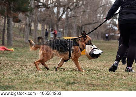Russia, Krasnodar 31.01.2021. Training Service German Shepherds For Protection At Stadium. Working G