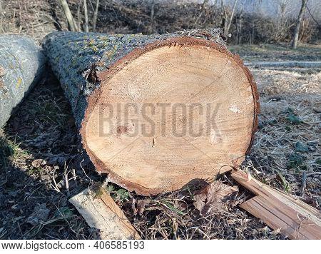 Sawed Stump . Sawn Tree Trunk And Tree Stumps, Harvesting Firewood. Pile Of Logs . New Dead Tree Stu