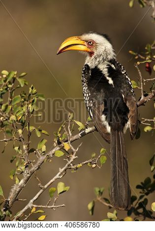 The Southern Yellow-billed Hornbill (tockus Leucomelas) Sitting In The Bush. Flying Banana On A Bran