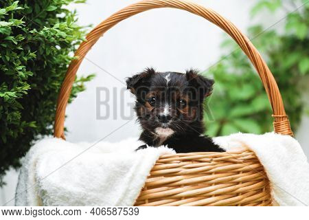 Black Puppy Sits In Basket On Background Of Green Nature. Happy Dog Pooch, Not Purebred On White Bla