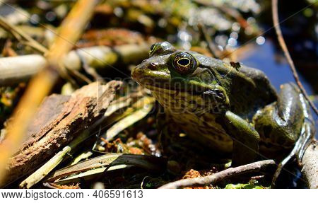 Ranidae, A Green Frog With Large Eyes. Portrait, Close-up. Beautiful Frog Sits In A Swamp Waiting Fo