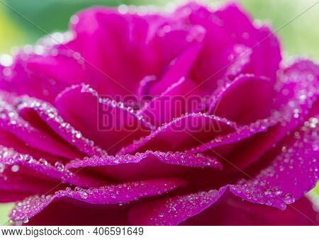 Beautiful Perfect Pink Rose With Dew Drops On The Petals. Beautiful Summer Background, Rose Flower W