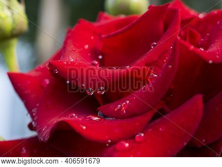 Delicate Red Rose With Drops Of Morning Dew. Big Beautiful Red Rose Flower With Buds. Delicate Rose