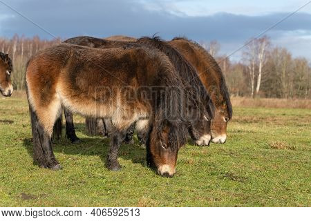 Herd Of Wild Exmoor Ponies, Equus Ferus Caballus, Graze In A Nature Reserve. Selective Focus. Full B