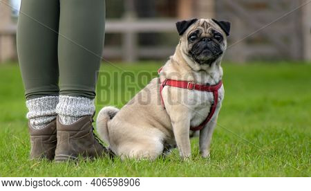 Person With A Obedient Pug In A Harness At Her Side Looking Into The Camera Ideal Poster Background