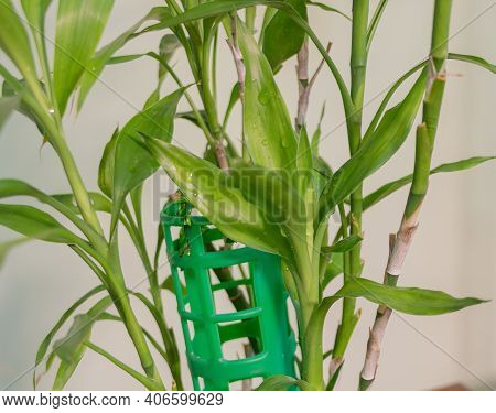 Lucky Bamboo - Dracaena Sanderiana. With A New Vigorous Growth - How To Take Care Of Bamboo Concept.