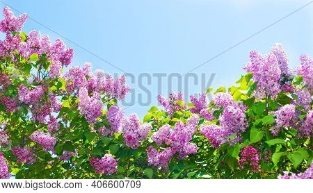 Lilac Branches On A Background Of Blue Sky. Flowering Bush. Blue Sky. Pink Lilac. Summer. Copy Spase