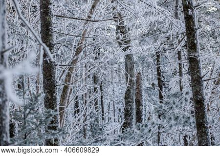 Snow-covered Tree Trunks In A Dense Forest In Winter. Snow Stuck To Tree Trunks.