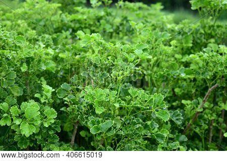 Green Leaves Backgroud. Nature Concept. Medicinal Herbs Plant. Botanical Garden.