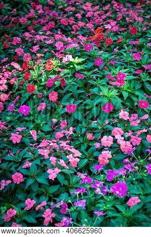 Busy Lizzie Plant (impatiens Walleriana) Flower Pink And Purple. Impatiens Flowers Or Balsam, Sultan