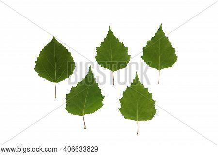 Green Leaves Of Birch Tree On A White Isolated Background, Template For Your Design, Natural Eco-fri