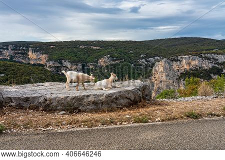 Goat In The Canyon Of Ardeche In Southern France