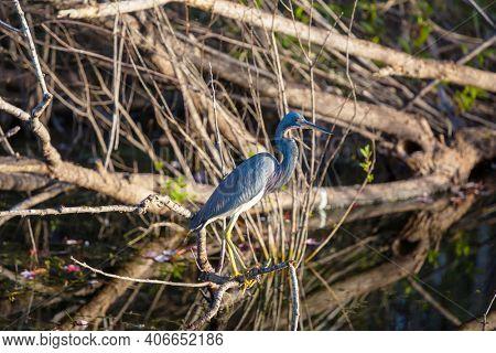 Grey Heron (Ardea cinerea), Everglades National Park, Florida