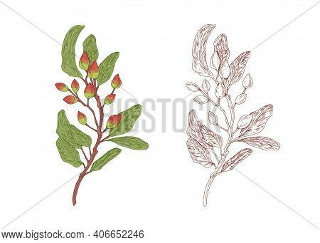 Colored Pistachio Tree Branch With Raw Nuts And Hand-drawn Outlined Sketch Of Pistache Plant With Fr