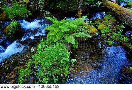 Fern In The Middle Of The Creek - A Natural Scene Along Watson Creek - North Umpqua River Corridor -
