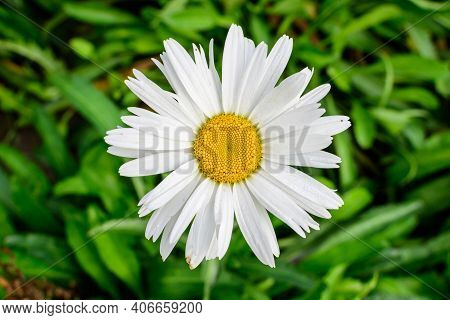 Close Up Of One Large White Leucanthemum Vulgare Flower Known As Ox - Eye Daisy, Oxeye Daisy Or Dog