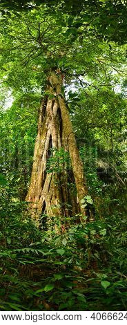 Huge Picture From An Rain Forest Tree In The Rain Forest At Cosa Rica
