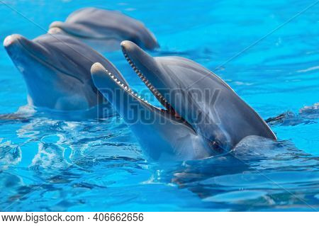Charming Dolphins Swimming With Other Dolphins In The Pool. Two Dolphins Enjoying Together. Charming