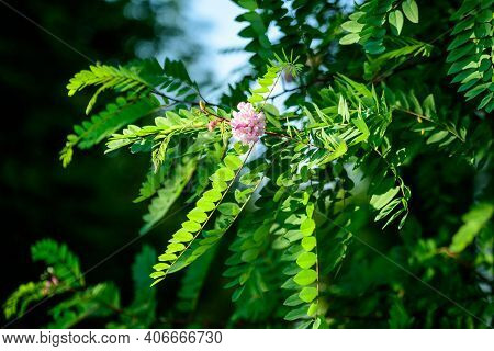 Pink Flowers Of Robinia Pseudoacacia Commonly Known As Black Locust, And Green Leaves In A Summer Ga